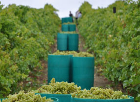 Grape Harvest at Biddenden Vineyards