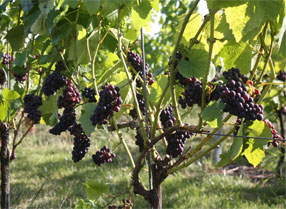 Grapes at Hush Heath