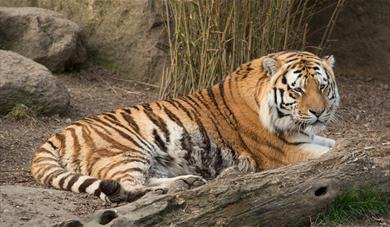 Tiger at the Big Cat Sanctuary