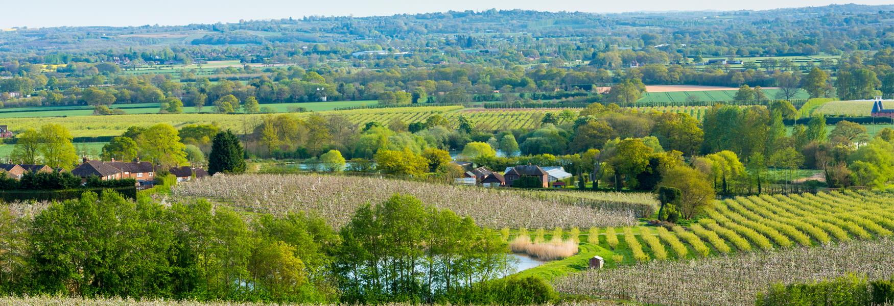 Orchards in the Kent countryside, Linton