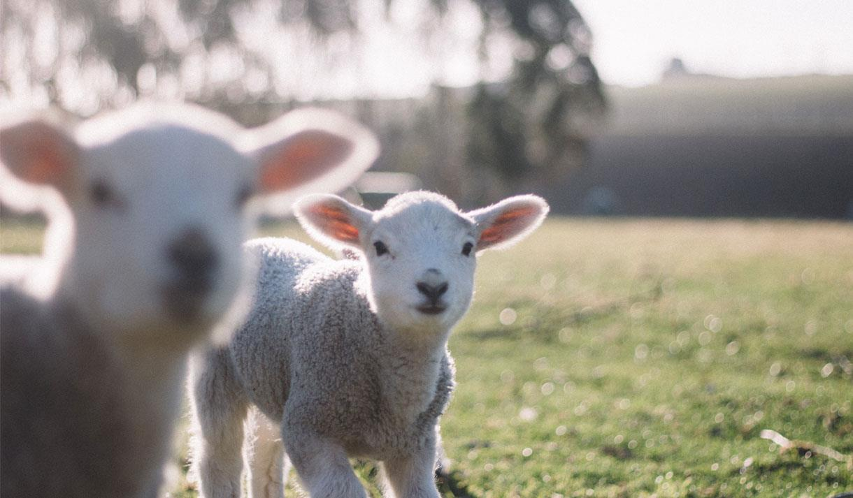 The lamb show at half term at Kent Life Maidstone.